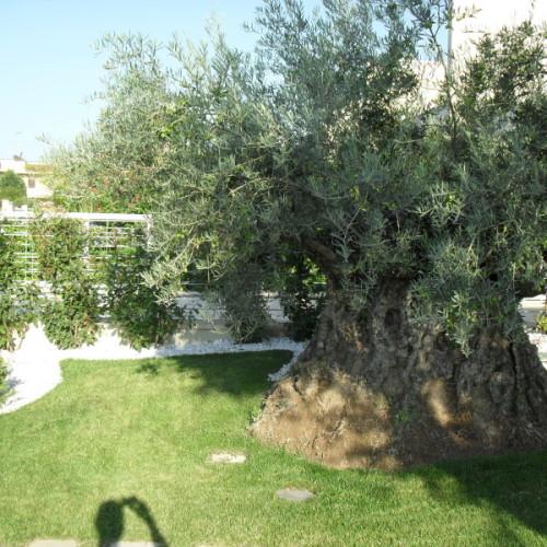 Realizzazione giardini bari giardiniere berardino - Giardino con ulivo ...