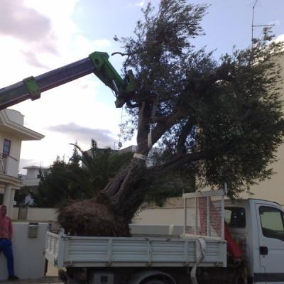 1.piantumazione albero secolare Casamassima