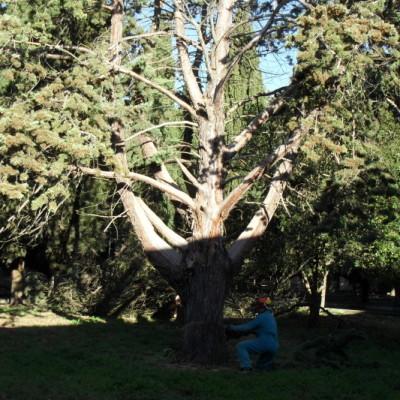 Abbattimento alberi secolari