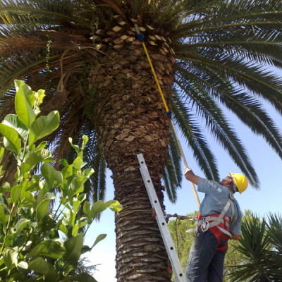 Potatura palma 1
