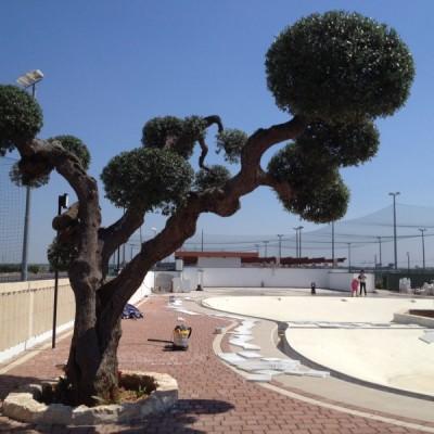 Ulivo a palloncino Puglia