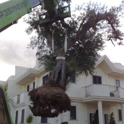 piantumazione albero secolare Bari