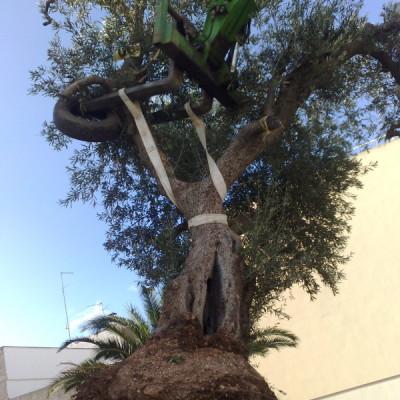 piantumazione ulivo secolare Casamassima